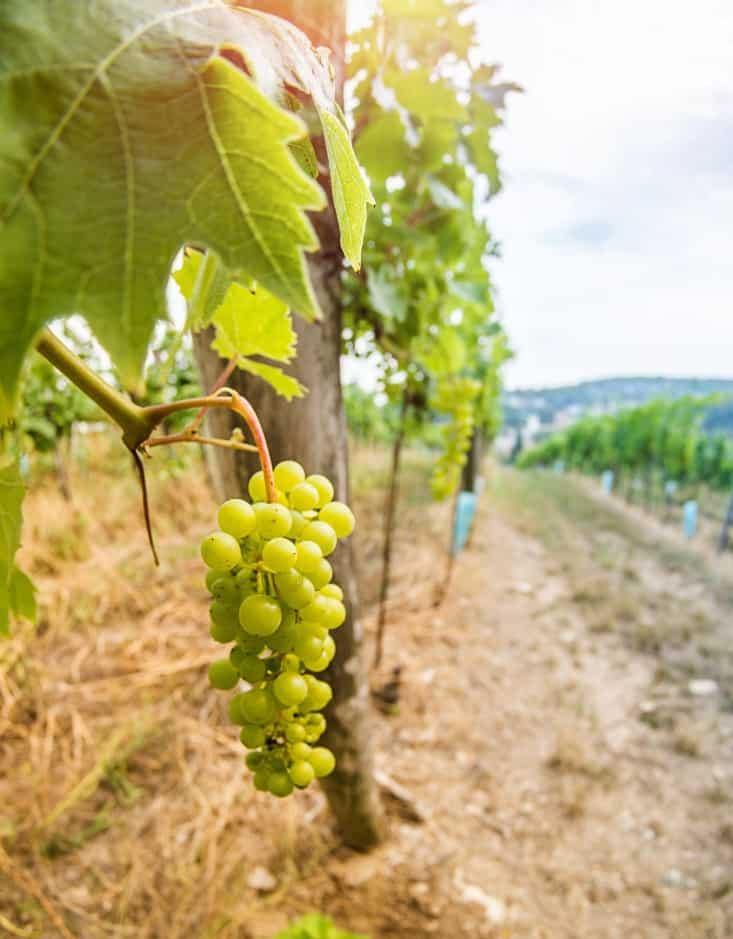 assistant administratif et commercial viticole occitanie pic saint loup languedoc roussillon cevennes montpellier bureau des viticulteurs